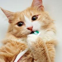 【獣医師執筆】猫に歯磨きって必要?歯磨きを嫌がるときは?猫のため上手な歯磨きの方法を知ろう!