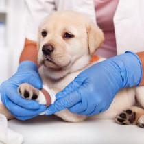 子犬の飼い主さん注目!体が未発達だからこそ特に気を付けてあげたい病気・ケガ