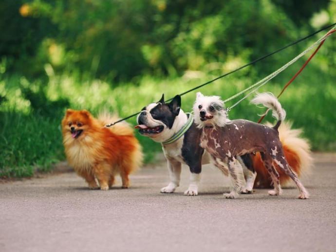 【獣医師執筆】小型犬に散歩は必要なの?どのくらい行うべき?犬種別に理想的な散歩量を紹介