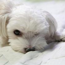 犬の目がくっついた…?目が開かなくなったときに考えられる原因5つ