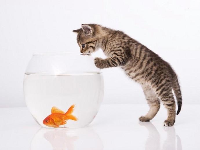 【獣医師執筆】猫と金魚の同居は可能?金魚や熱帯魚と暮らす家で猫を飼うときの注意点