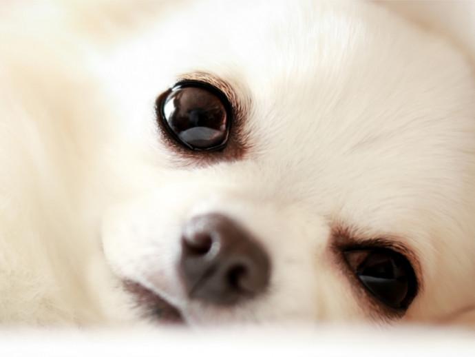 【獣医師執筆】知ってることが重要!チワワの飼い主が知っておきたい病気4選