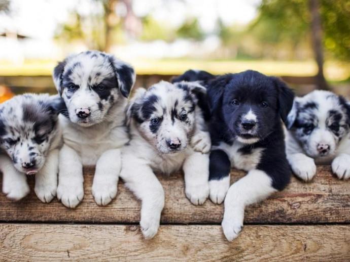 【獣医師執筆】犬の毛色は全部で◯色…!バリエーション豊かな犬の毛色と柄を決める遺伝子の秘密