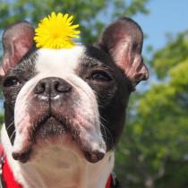 犬の花粉症は人よりつらい?!その症状とは