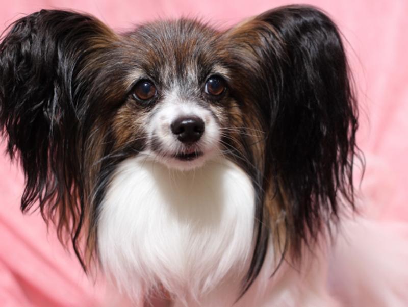 パピヨンてどんな犬?性格・特徴についてご紹介