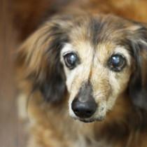 犬の老化のサインを見逃さない!愛犬のために知っておこう