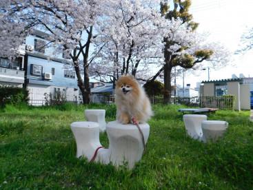 ここの🌸桜には 毎年ご挨拶するんだよ。