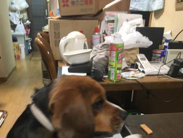 ふくろう山荘看板犬のジョン🐶です。摘み食いの決定的証拠写真です。