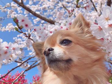 お花見🌸散歩🐶💖 桜🌸満開🌸とっても綺麗だったね☺️💕