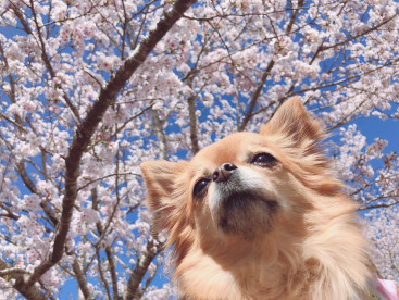 お花見🌸モコ散歩🐶💖 たくさん歩いたね🐶💕