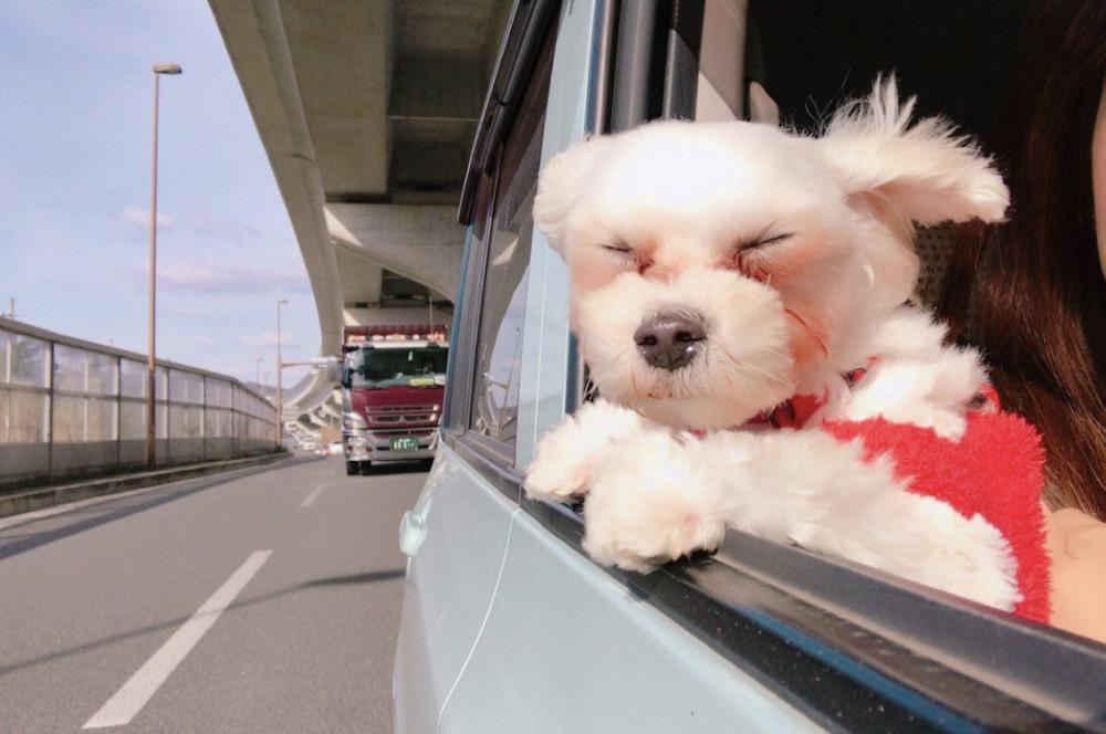風になびきすぎてこうなっちゃった😂車から顔を出すのが好きなモコです🚗