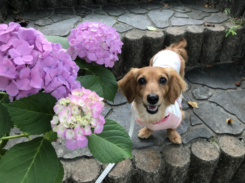 いよいよ梅雨入り 紫陽花が綺麗でした