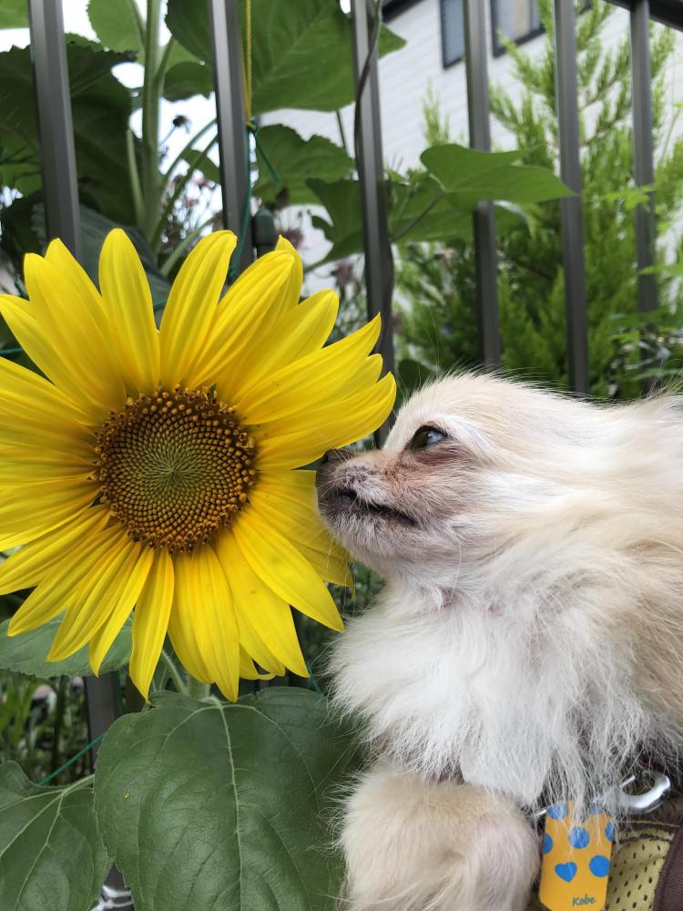 「毎日胸きゅん」  うちの子はお花大好きです 夏の王様、向日葵さんと初対面🌻