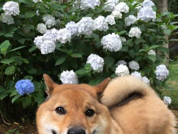 紫陽花を見てきましたぁ!