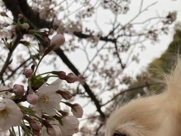 「毎日胸きゅん」 お花大好きな我が家のプリンス 春といえば桜🌸でしょ  いい匂いするのかな?
