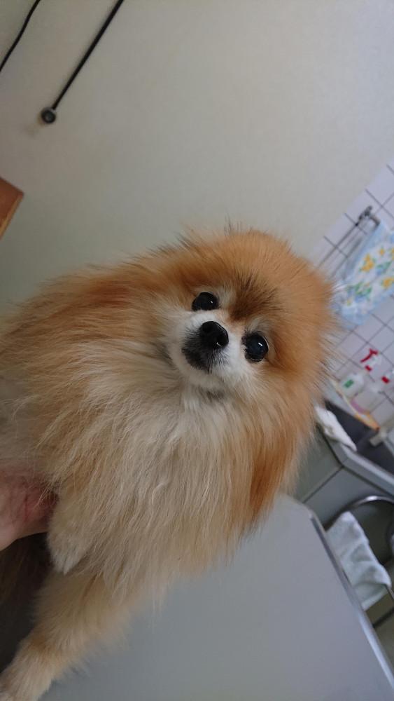 病院で緊張した顔です。 獣医さんは、いつもみゆに話し掛けながら診察をして下さいます。