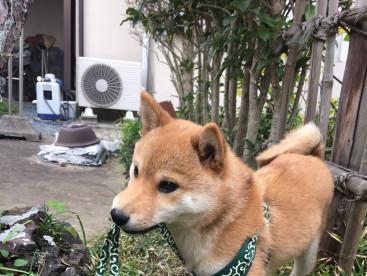 豆太郎。散歩大好きすぎて、自分でリード引っ張ってます(笑)