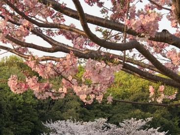 もう桜も終わりかな 来年はお友達と見たいね