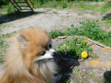 たんぽぽも咲いていたよ🍀🍀