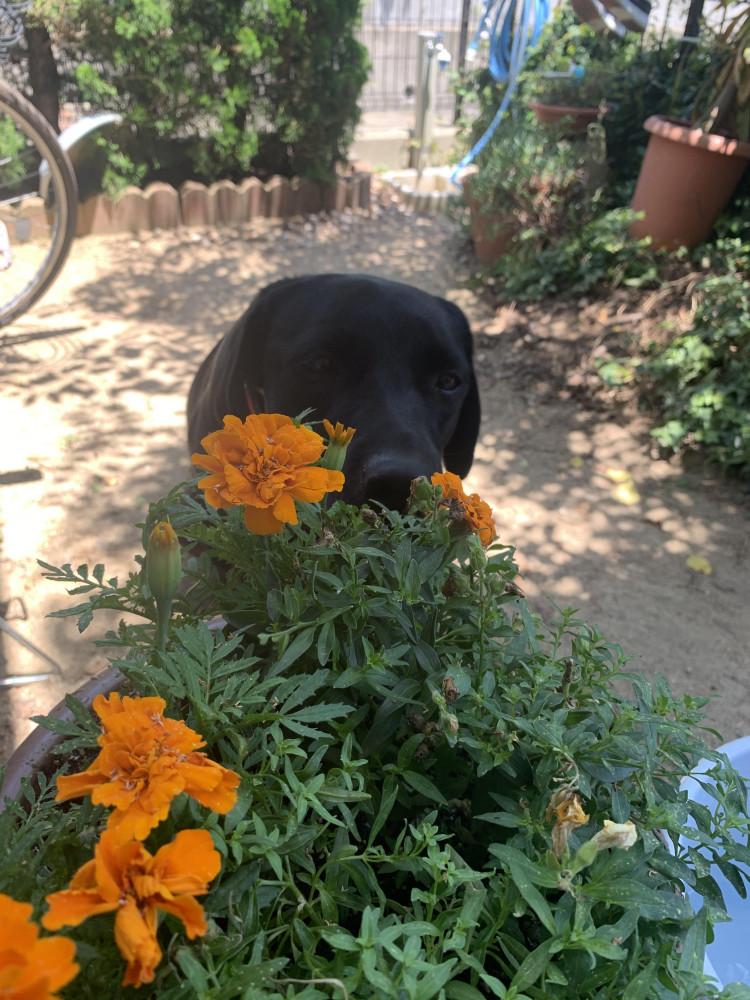 マリーゴールド咲いた! お花好きなのかな?